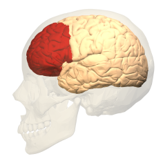 Prefrontal_cortex_(left)_-_lateral_view